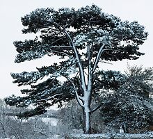 Scots Pine in Snow, Chipping Campden, England by physiognomic