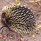 Echidna in Morwell National Park, Gippsland by Bev Pascoe