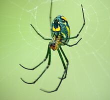 Venusta Orchard Spider by crystalseye