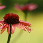 """""""Reflections of Summer-Coneflowers in My Garden"""" by KatWolfe"""