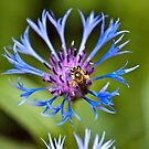 The bee and the Cornflower by PhotosByHealy