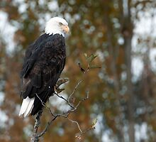 Classic Bald Eagle Pose by David Friederich