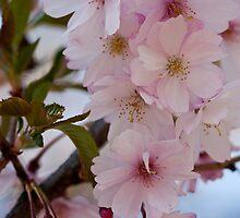 Cherries in Spring by ElyseFradkin
