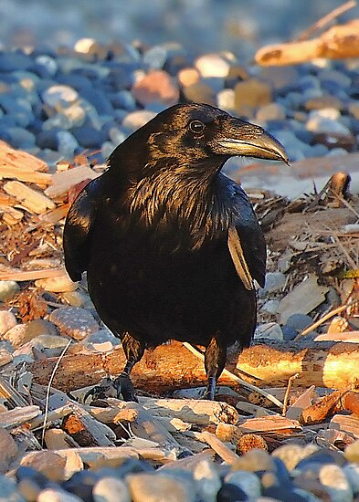 Raven at Sundown by Carl Olsen