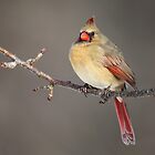 Female Northern Cardinal by Rob Lavoie