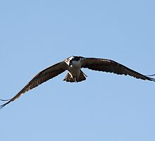 Osprey on the Hunt by Gail Falcon