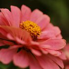"""Pink Impression- Zinnia in My Garden"" by KatWolfe"