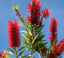 Red Bottlebrush, Davenport, FL, Jan. 13, 2011 by Debbie Robbins