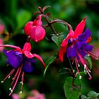 BEAUTIFUL  FUCHSIA by RoseMarie747