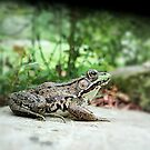 Frog Focus by sillyfrog
