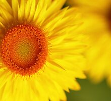 Yellow Daisies by Lincoln Stevens