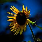 Sun flower by browncardinal8