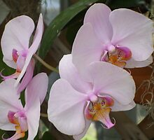 Orchids by Karen L Ramsey