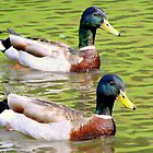 Synchronized Swimming Duck Duet  by Jean Gregory  Evans