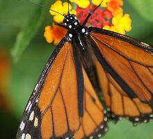 Monarch on Latana by crystalseye