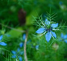 Love-in-a-Mist by marchlight