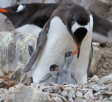 Gentoo Penguin feeding chick in Antarctica by mcreighton