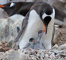 Gentoo Penguin feeding chick in Antarctica by mcreighton