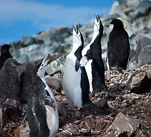 Chinstrap penguin chorus Antarctica by mcreighton