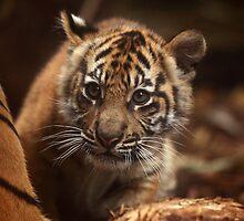 Baby Tiger - Wonder by Daniela Pintimalli