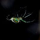 Orchard Spider  by dazaria