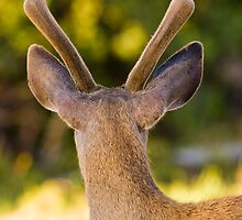 Velvet Antlers by Nickolay Stanev