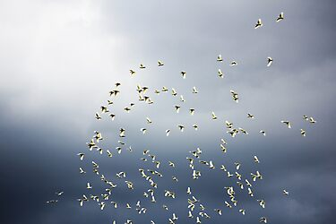 Corellas in flight by Rookwood Studio ©
