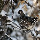 Spruce Grouse by Alain Turgeon