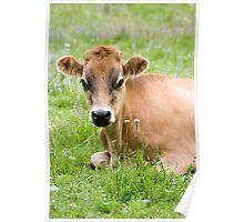 Caramello - NZ jersey cow Poster