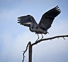 Great Blue Heron by Justin Atkins
