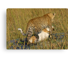 Leopard dragging kill to safe place! Canvas Print