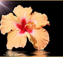 Apricot Hibiscus Flower by TGrowden