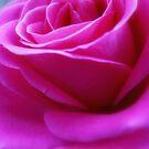 Pink Rose close up by Karen  Betts