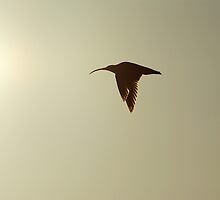 Curlew in flight, Yorkshire Dales by Guy Carpenter