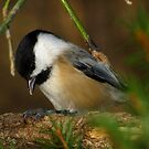 Black-capped Chickadee Eating a Sunflower Seed by Robert Miesner