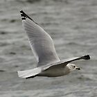Gull in Flight by AnnDixon