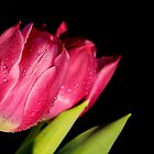 Tulips with water droplets  by Francesco Malpensi