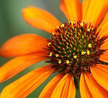 Orange Coneflower by crystalseye