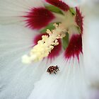 Ladybug on Rose of Sharon by crystalseye