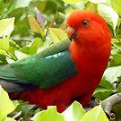 Australian Male King Parrot by Margaret Stockdale