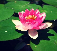 Lotus flowers in summer by stolensoul