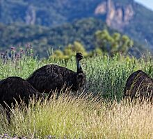 Wild Emus • Warrambungle National Park • Australia by William Bullimore