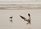 Coming in to land - seagull Baylys Beach NZ by Jenny Dean