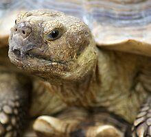 Tortoise by crystalseye