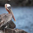 Galapagos Pelican by Paul Duckett