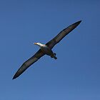 Albatross Soaring by Paul Duckett