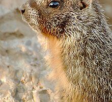 marmot-alert by Rodney55