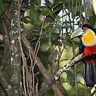 Tucan Glory by Paul Duckett