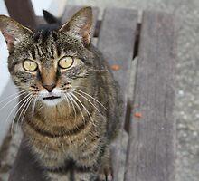 kitty cat by nerh