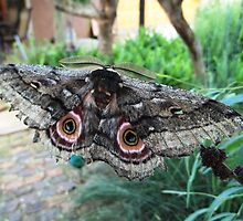 Speckled Emperor Moth by Maree  Clarkson